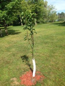Pear unknown variety - Primal Woods