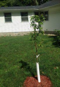Loring Peach Tree - Primal Woods