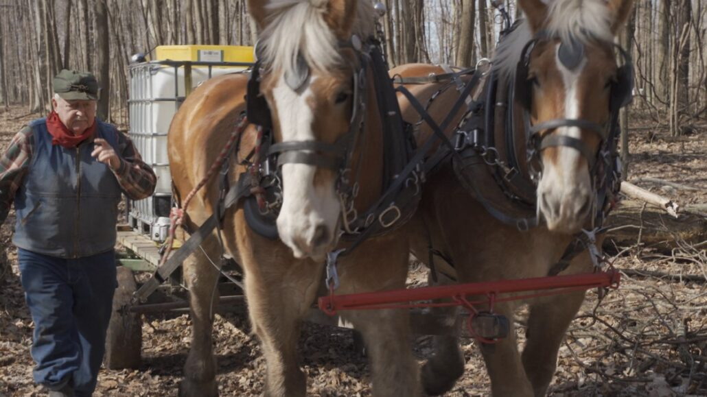 pure maple syrup draft horses hauling sap