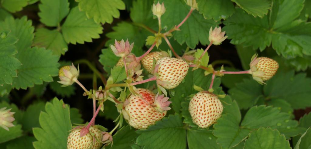strawberry-142355_1920