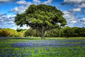 Green Oak Tree with blue sky and Bluebonnets