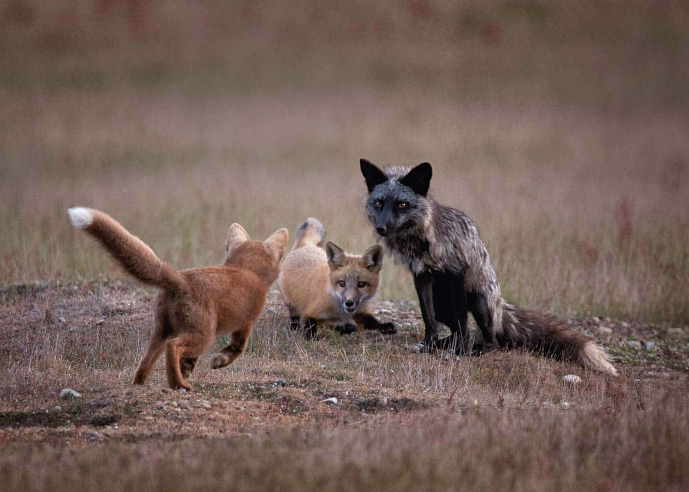 Red Fox and kits playing