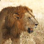 029-Simba in the Serengeti
