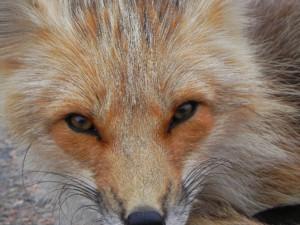 Foxy Fellow