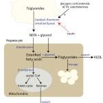 NEFA metabolism