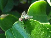 حشرات المنزل الطائرة