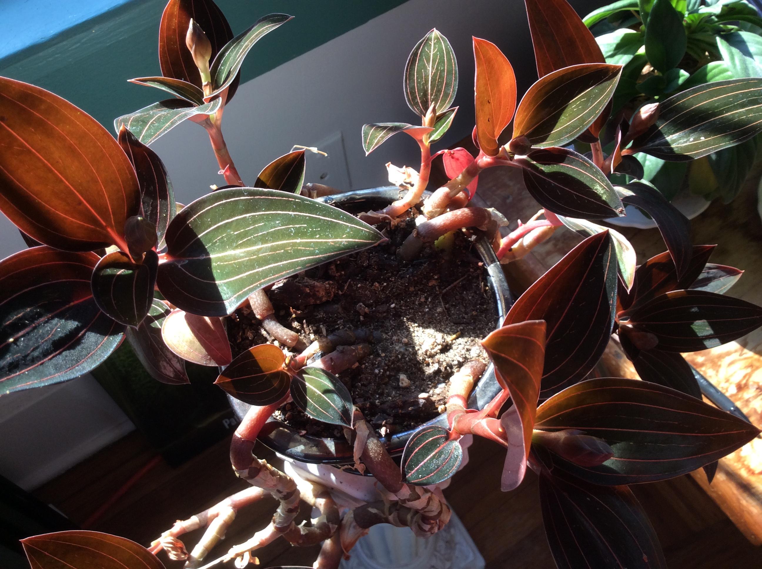 Jewel Orchid Joyous February Bloomer