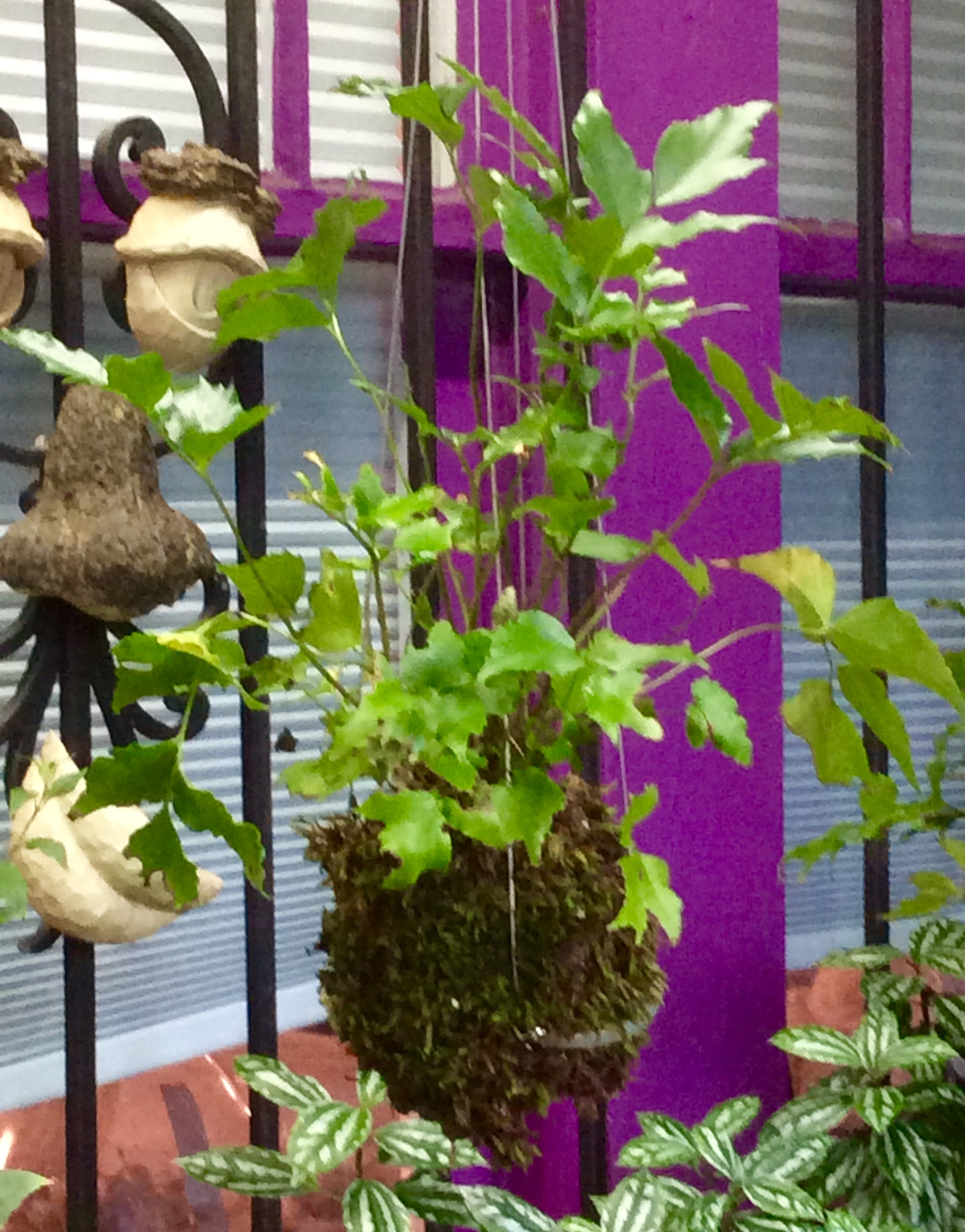 Ferns are traditionally used in kokedama.  This holly fern is a beauty, don't you think?