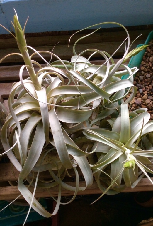 Tillandsia Xerigraphica in Full Bud! Only 4 Available