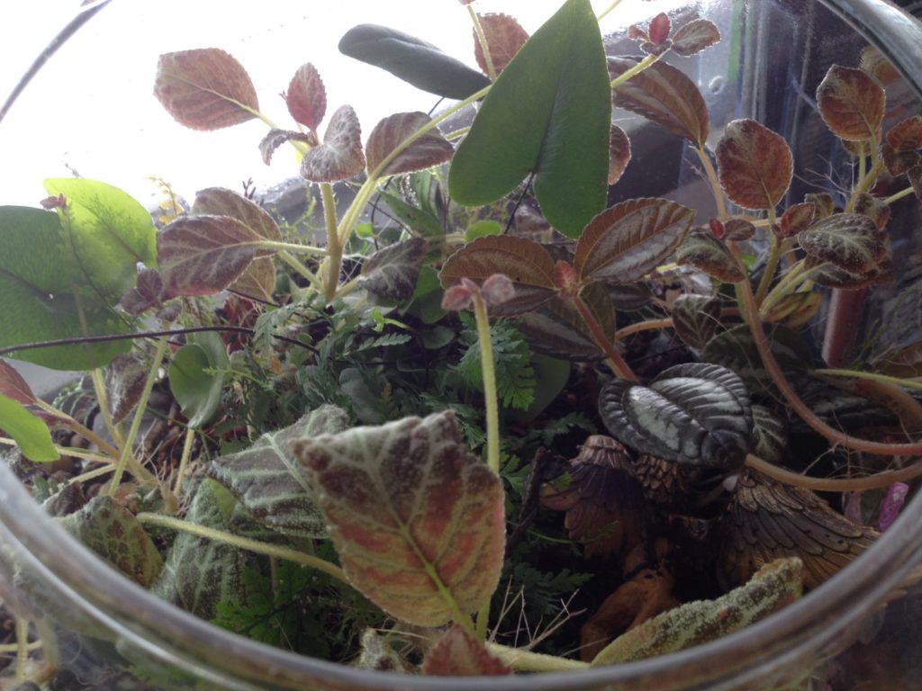 The purple pilea had grown and spread throughout the whole bowl, so I had to do a major trimming.  Ward was a little reluctant to lose any of the riot of growth, but understands the importance of maintaining balance in this closed environment