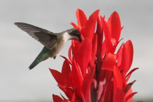 The hummingbird dips into the trumpet-shaped canna lily flowers, drinking the nectar.