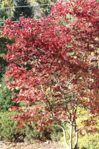 a tree with burgundy leaves