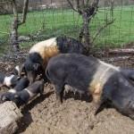 Streekproducten van het varkensras Cinta Senese DOP