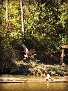 Doe Run Lake Heron