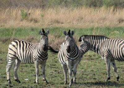Botswana Adventure Safari Zebras Header