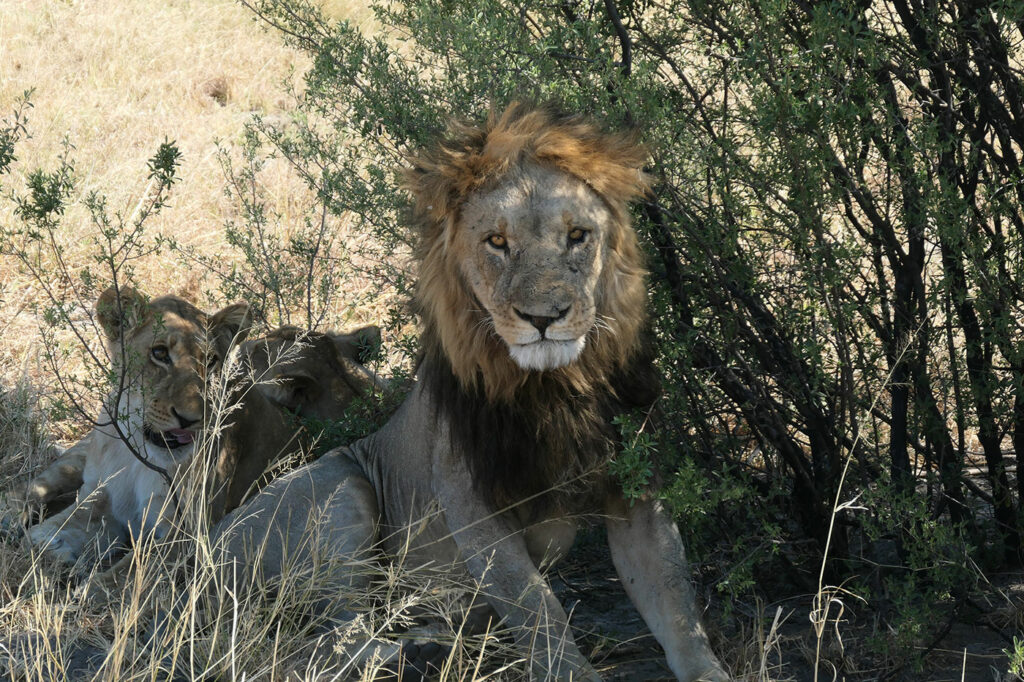 African safaris and conservation saves lions