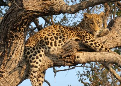 Botswana Wilderness Safari Leopard Header