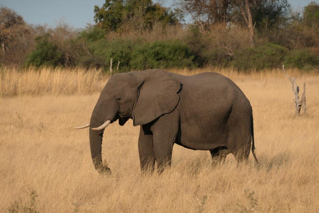 Protecting Botswana's Elephants
