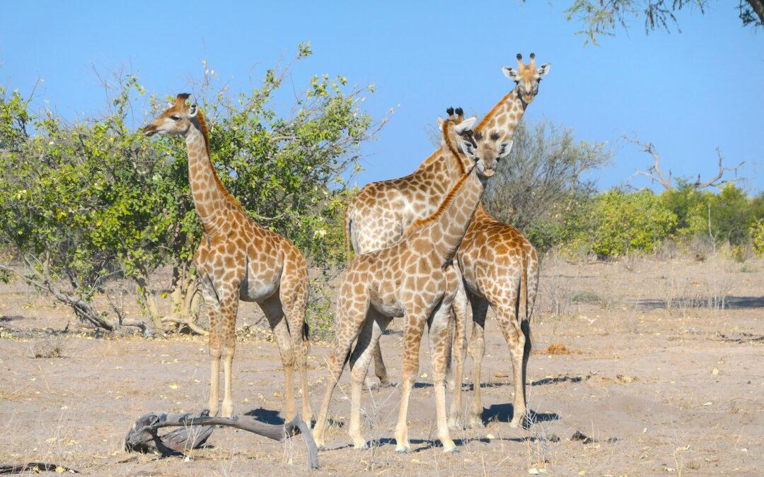 Giraffes on a game drive in Botswana
