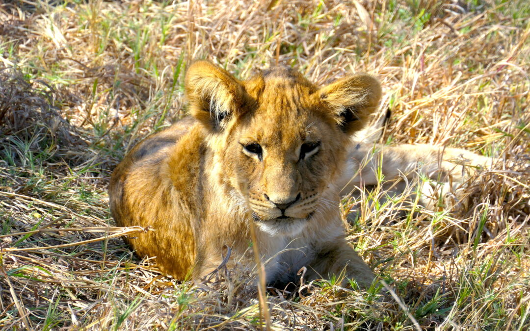 Lions Are Disappearing: African Safaris and Conservation