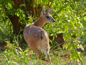 Botswana Antelopes