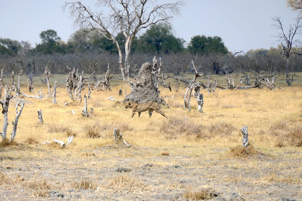 Botswana animal safari with a cheetah
