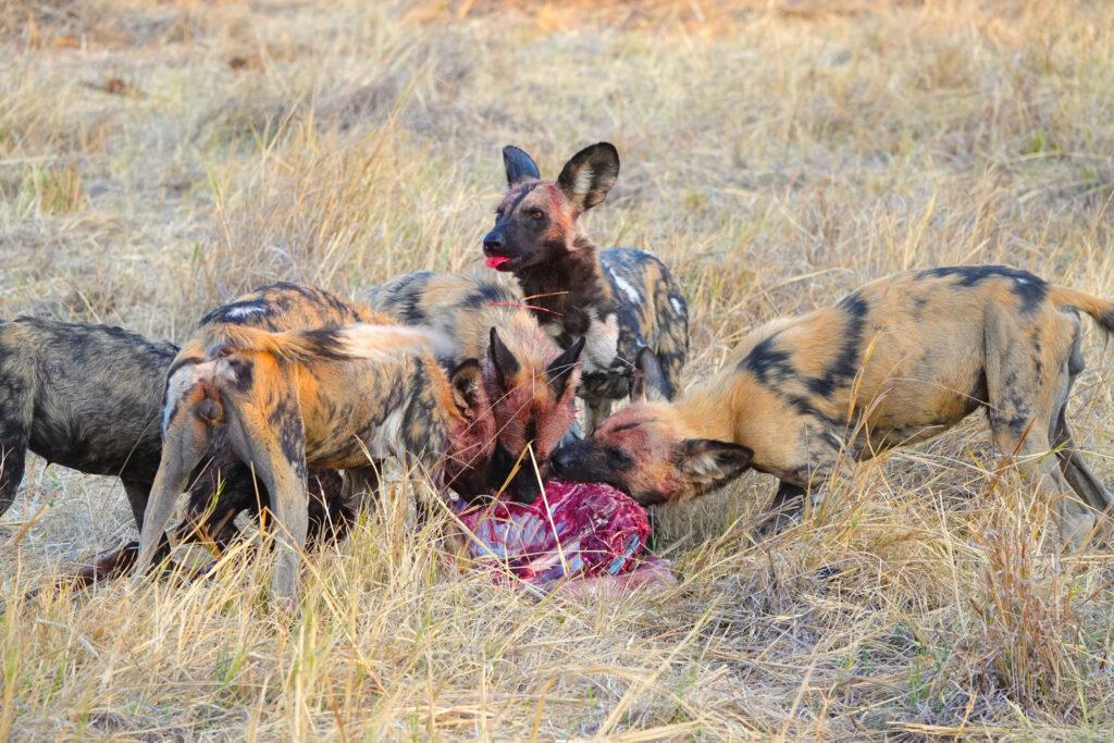 brave africa safari wild dog kill