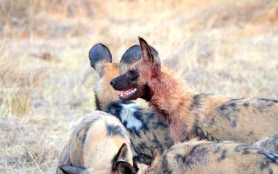 Botswana Animal Safari: Best Animal Sightings with Brave Africa