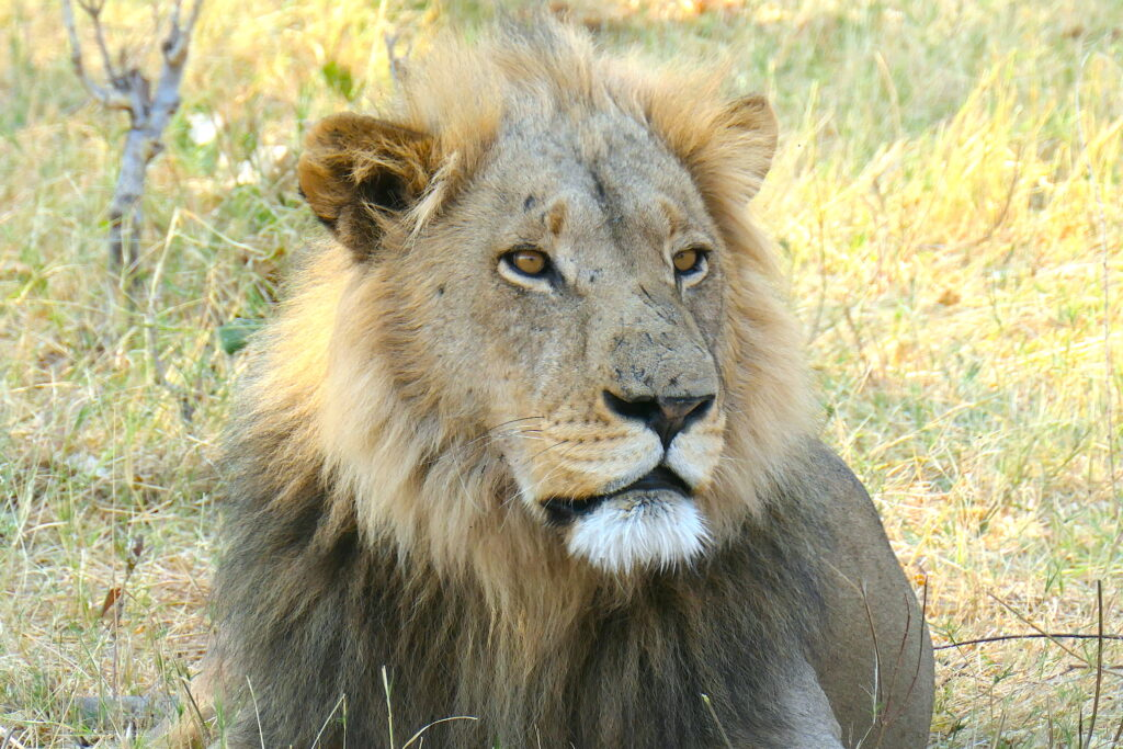 All-Day Game Drive Lion