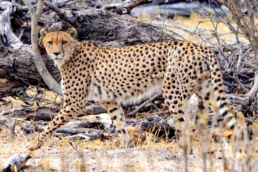 best time to go on a Botswana safari and see cheetah