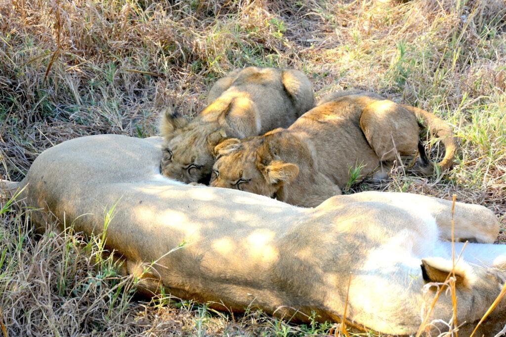 Lion cubs Botswana Brave Africa