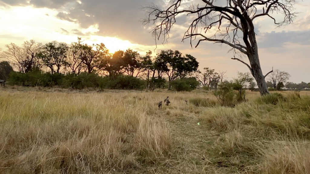 Wild Dogs in Moremi