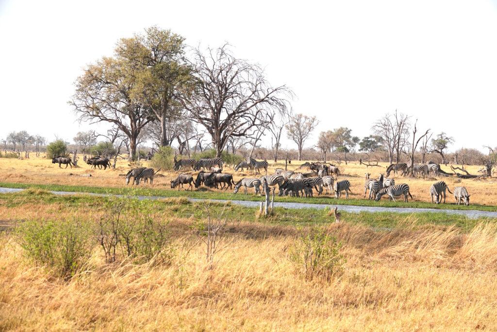 zebra migration best months to visit Botswana