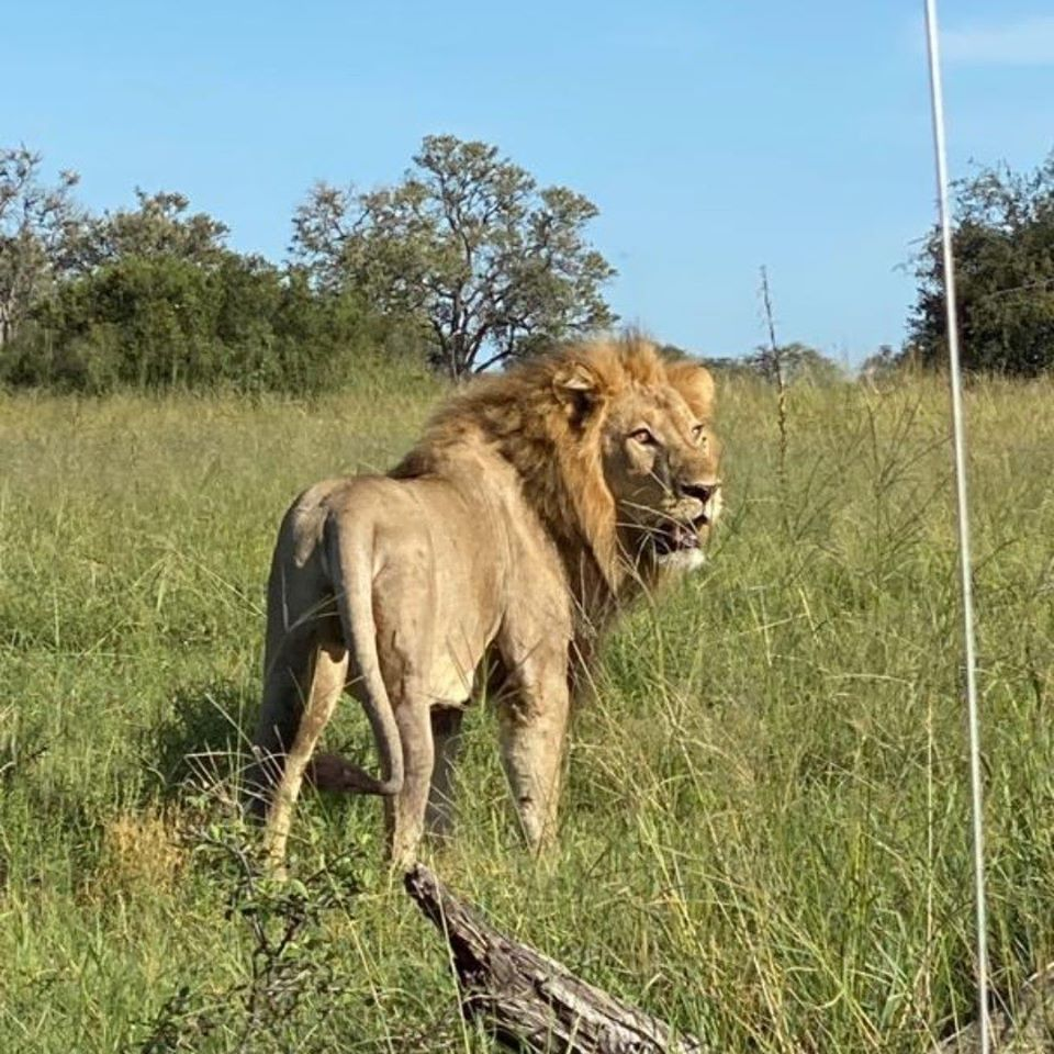 Safari lion close encounter