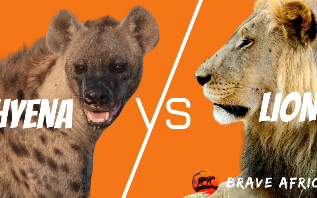 Hyena VS Lion