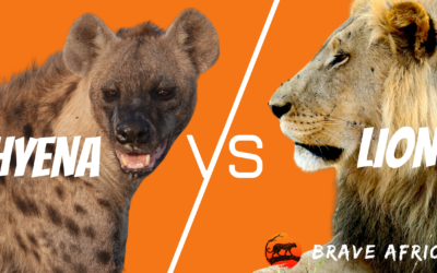 Incredible Botswana Safari Sightings: Lion VS Hyena