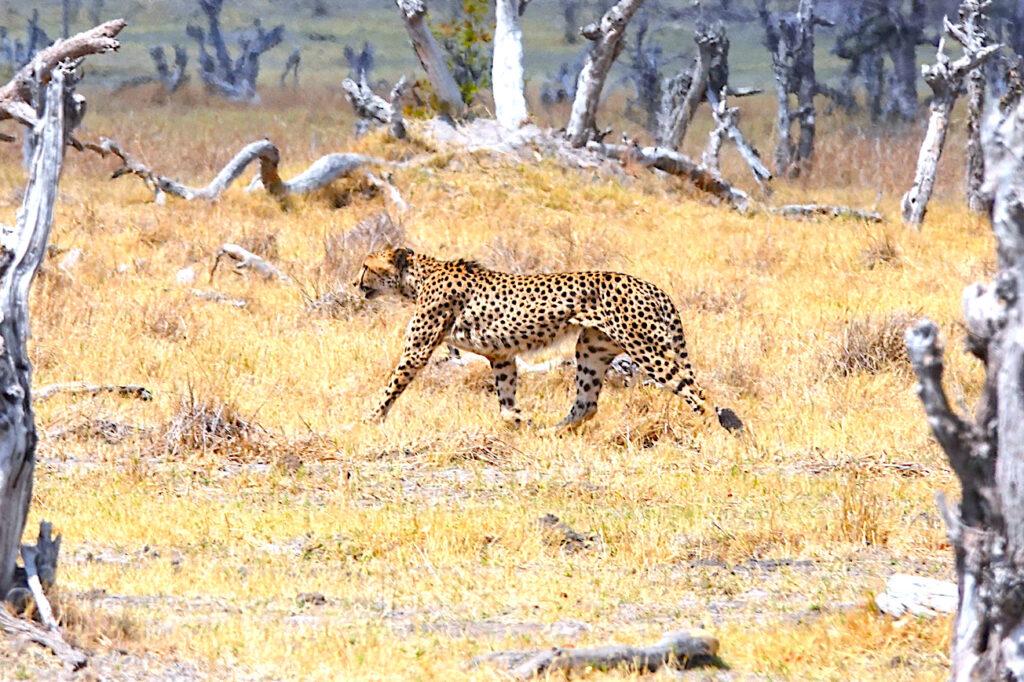 Cats in Botswana: Cheetahs
