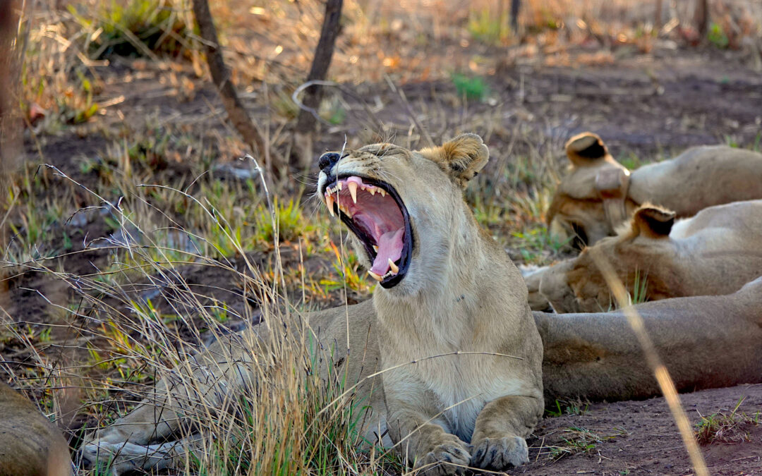 Incredible Animals of Botswana: Cats