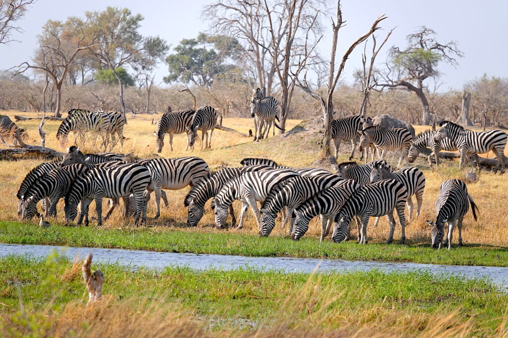 Zebra Migration in Botswana