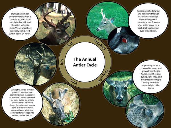 deer antler growth chart