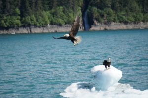 Photo of 2 American bald eagles with one sitting on and the other taking off from an iceberg it Tracy Arm Fjord.
