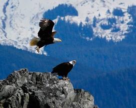 Photo of 2 American bald eagles atop a mountain in Juneau, Alaska.