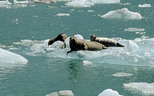 Photo of basking seals in Tracy Arm Fjord on the way to the Sawyer Glacier