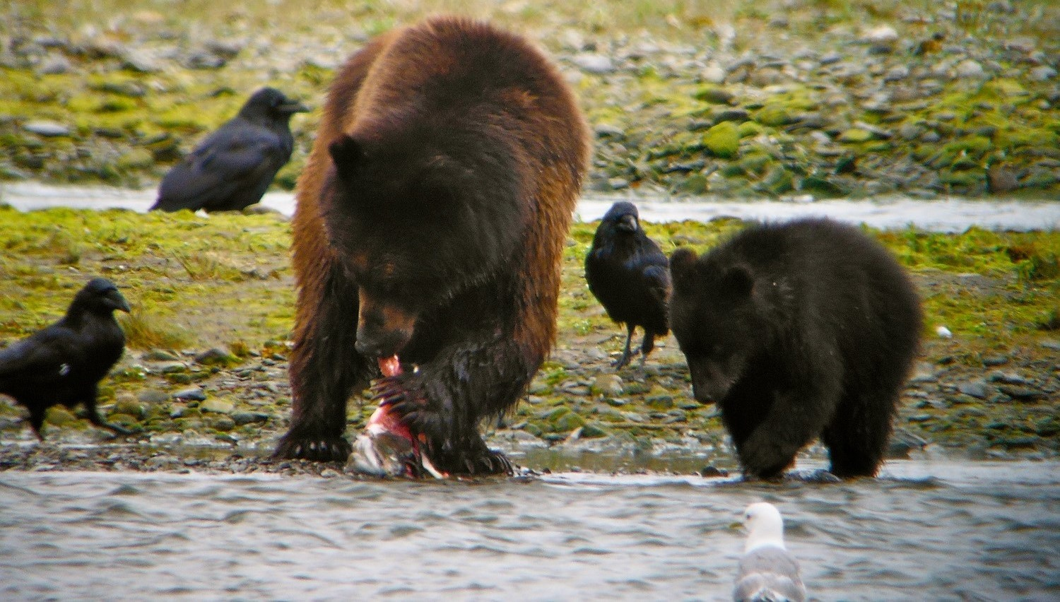 Sow and cub at Pack Creek