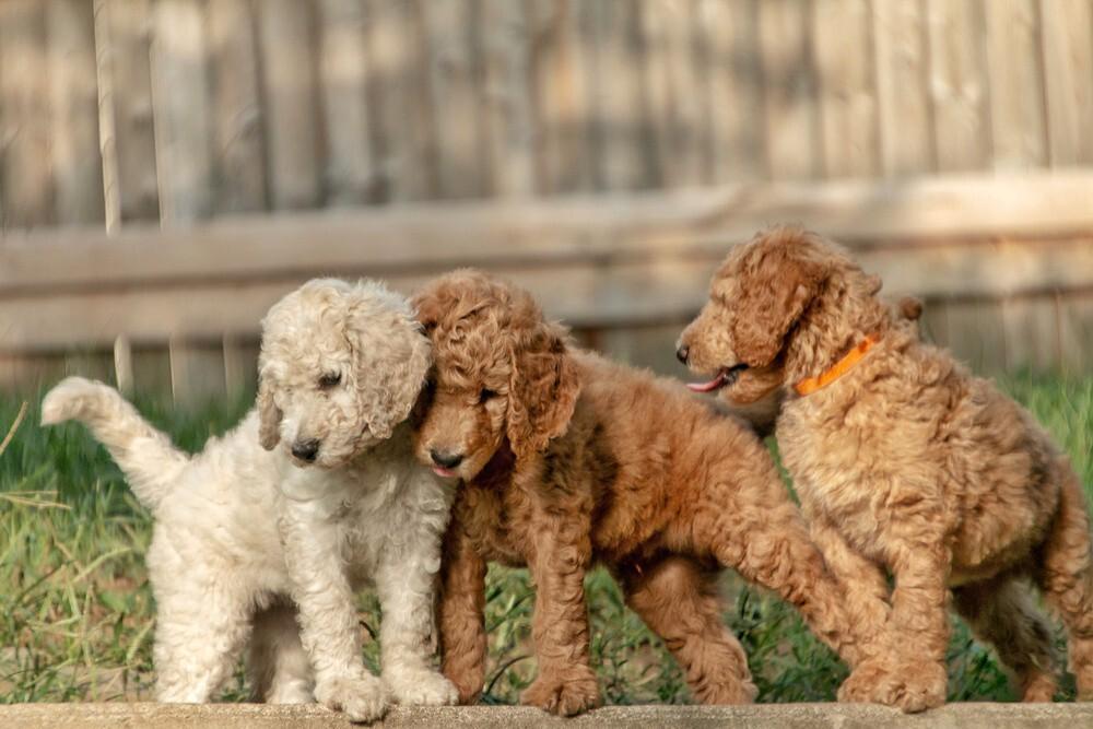 Doodle Puppies in Iowa | Demmer Doodles | Official Site