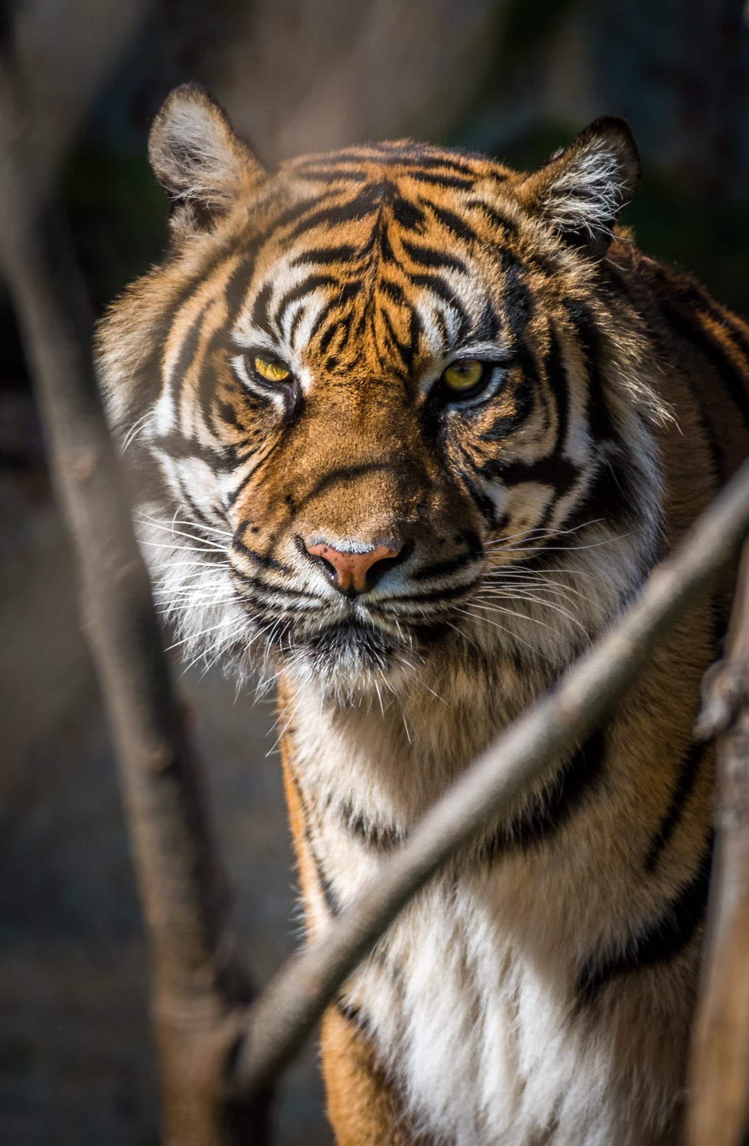 tiger- conservation efforts