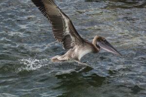 Brown Pelican on Kayak Tour