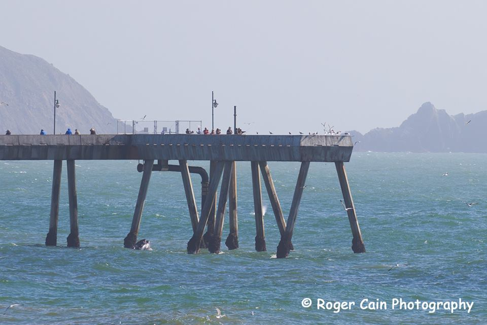 See the whale just below the Pacifica Pier? In the background behind one of the pier legs you can see the spray from another Humpback whale. 6-20-2016