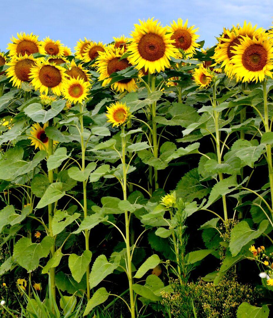 sunforest-mix-sunflower-types-1586794598
