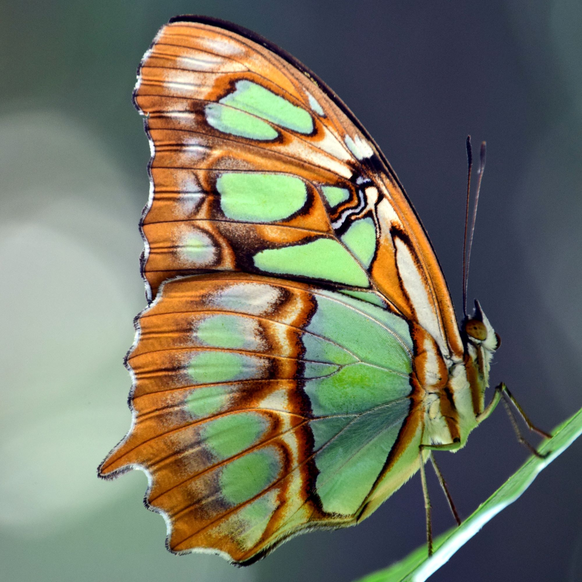 Malachite-Butterfly